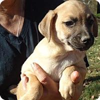 Adopt A Pet :: Gus - Plainfield, CT