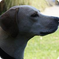 Adopt A Pet :: Beau - Baden, PA