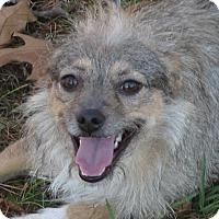 Adopt A Pet :: Phoebe - Plainfield, CT