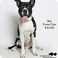 Adopt A Pet :: Boe  (Foster) - Baton Rouge, LA