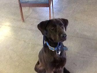 Labrador Retriever/Anatolian Shepherd Mix Dog for adoption in Wattertown, Massachusetts - Dunn