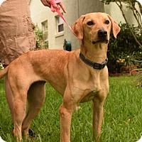 Adopt A Pet :: Phoebe - Windermere, FL