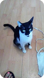 Domestic Shorthair Cat for adoption in Hollywood, Florida - Jade