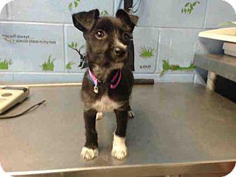 Terrier (Unknown Type, Small) Mix Puppy for adoption in San Bernardino, California - URGENT on 10/11 SAN BERNARDINO