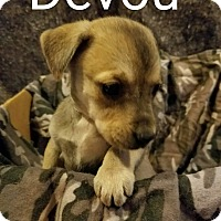 Adopt A Pet :: Devou - Newport, KY