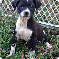 Adopt A Pet :: Betty - Newark, DE