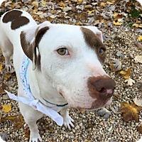 Bulldog Mix Dog for adoption in Philadelphia, Pennsylvania - Abel