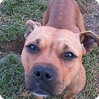 Pit Bull Terrier Mix Dog for adoption in Dayton, Ohio - Odessa
