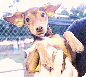 Miniature Pinscher Mix Dog for adoption in Nixa, Missouri - Tanzy #976