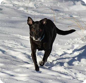 Shepherd (Unknown Type)/Labrador Retriever Mix Dog for adoption in Thomasville, North Carolina - Cherry