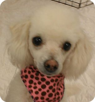 Poodle (Toy or Tea Cup)/Maltese Mix Dog for adoption in Phoenix, Arizona - Lambchop - NON SHED!