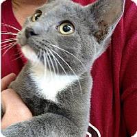 Adopt A Pet :: Bootsie Boo - Bentonville, AR