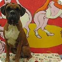 Adopt A Pet :: ROXXI - Santa Monica, CA