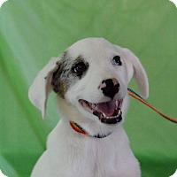 Adopt A Pet :: Tuff - Hamburg, PA