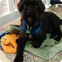 Adopt A Pet :: Brownie - Thousand Oaks, CA