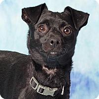 Adopt A Pet :: Gee - Gilbert, AZ