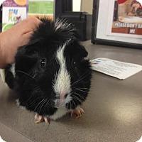 Adopt A Pet :: Oreo - Camden, DE