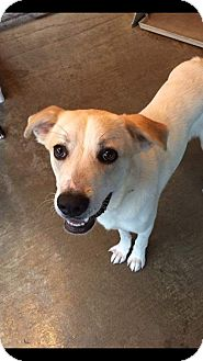 Labrador Retriever/Husky Mix Dog for adoption in Manchester, New Hampshire - Finn