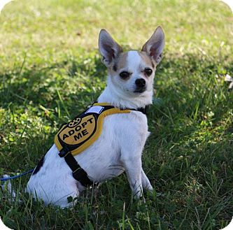 Chihuahua Dog for adoption in Front Royal, Virginia - Bo
