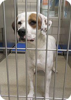 Labrador Retriever/Boxer Mix Dog for adoption in North Richland Hills, Texas - Lloyd  $60