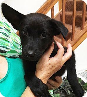 Shepherd (Unknown Type) Mix Puppy for adoption in Schaumburg, Illinois - Benson-adoption pending