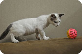 Domestic Shorthair Kitten for adoption in Seattle, Washington - Skylar