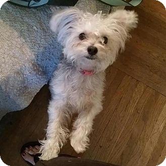 Yorkie, Yorkshire Terrier/Poodle (Miniature) Mix Dog for adoption in Cincinnati, Ohio - Mattie
