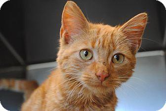 Domestic Mediumhair Cat for adoption in Windsor, Virginia - Dreamer