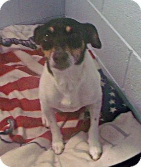 Jack Russell Terrier Dog for adoption in Muskegon, Michigan - Dodger