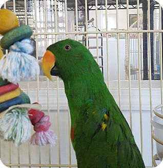 Eclectus for adoption in Grandview, Missouri - Frank