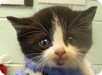 Domestic Mediumhair Kitten for adoption in Decatur, Georgia - Hazel-Adopted