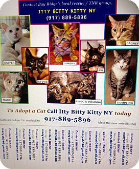 American Shorthair Cat for adoption in Brooklyn, New York - IBKNY