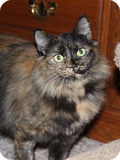 Domestic Longhair Cat for adoption in Fairfax, Virginia - Autumn