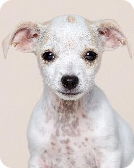 Chihuahua/Jack Russell Terrier Mix Dog for adoption in Pt. Richmond, California - HARLOW