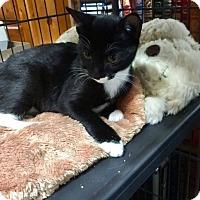 Adopt A Pet :: Boots - Hallandale, FL