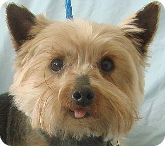 Yorkie, Yorkshire Terrier Dog for adoption in Chesterfield, Missouri - Devon