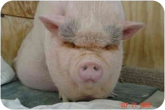 Pig (Potbellied) for adoption in Las Vegas, Nevada - Asimo - Mack, CO