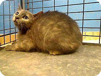 Domestic Shorthair Kitten for adoption in New York, New York - Sheena and Shayla