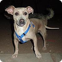 Adopt A Pet :: Smeagle - Phoenix, AZ