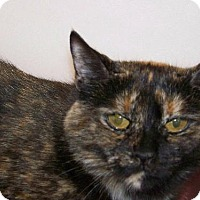 Domestic Shorthair Cat for adoption in Westville, Indiana - Esperanza