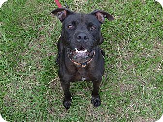Pit Bull Terrier Mix Dog for adoption in Jupiter, Florida - Vader
