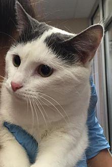 Domestic Shorthair Cat for adoption in Lima, Ohio - Minerva