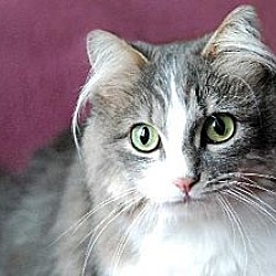 Photo 1 - Domestic Longhair Cat for adoption in Seal Beach, California - Jenny Any Dots