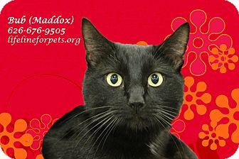 Domestic Shorthair Cat for adoption in Monrovia, California - BUB (aka MADDOX)