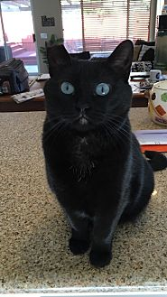 American Shorthair Cat for adoption in Nuevo, California - Blue Eyes
