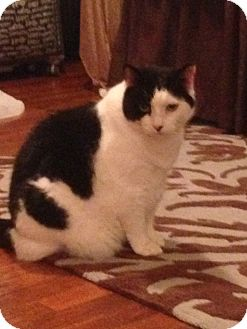 Domestic Shorthair Cat for adoption in Carlisle, Pennsylvania - GloryCP