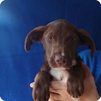 Adopt A Pet :: Bolt - Oviedo, FL