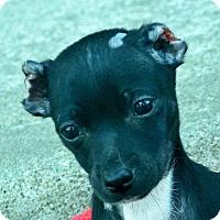 Adopt A Pet :: Lobo - Bridgeton, MO