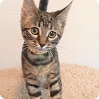 Adopt A Pet :: Storm - Warrenton, MO