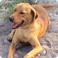 Adopt A Pet :: Gentry - New Smyrna beach, FL